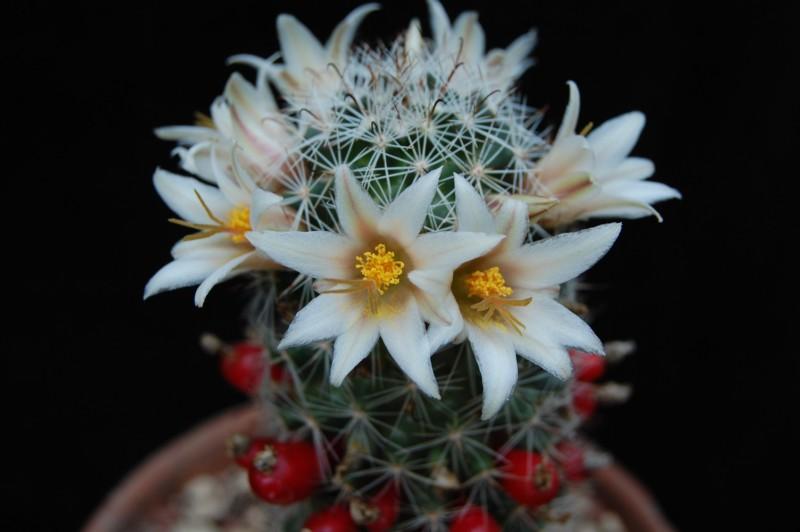 Mammillaria bullardiana 1075-212