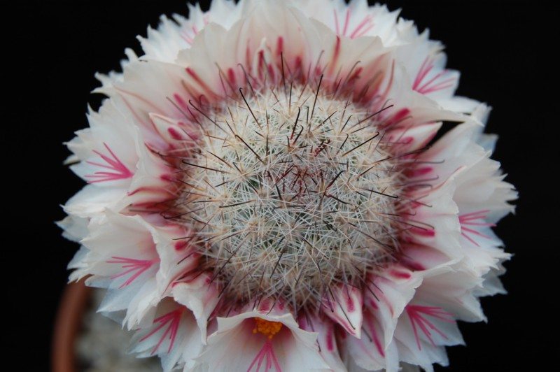 Mammillaria albicans 1607-212