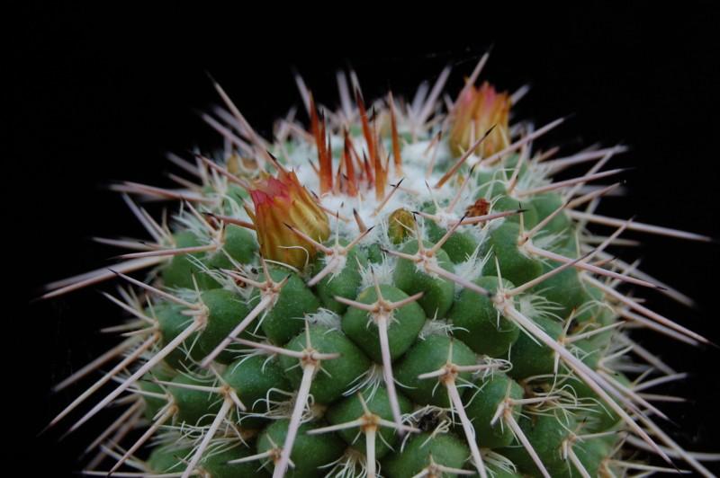 Mammillaria bernalensis 3076-210
