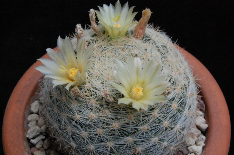 Mammillaria candida 3267-212