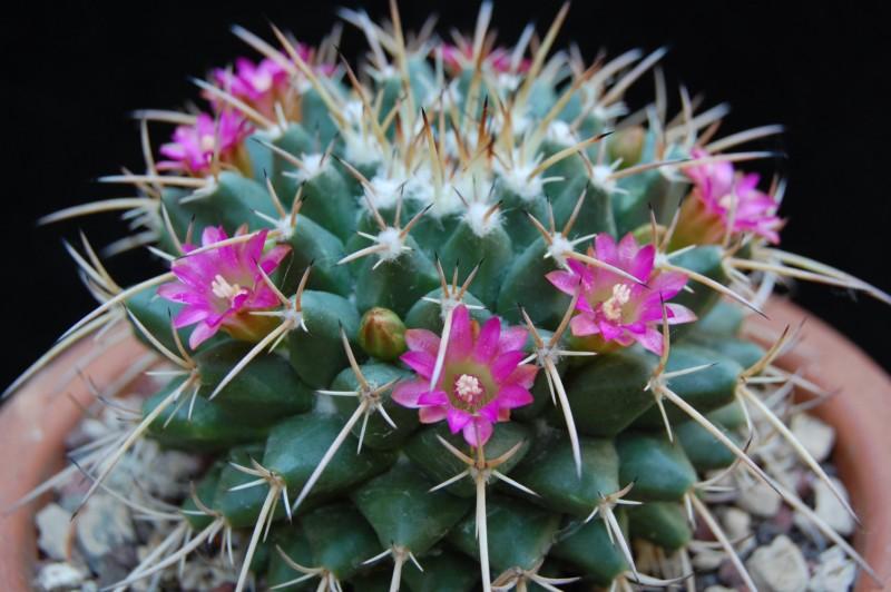 Mammillaria bucareliensis 3349-211