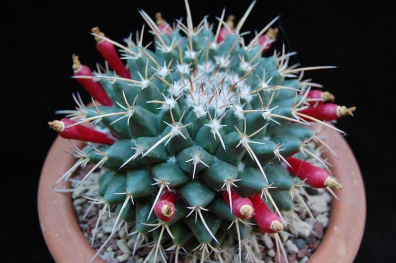 Mammillaria bucareliensis 3349-212
