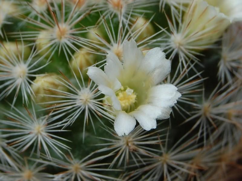Mammillaria brachytrichion 4091-212