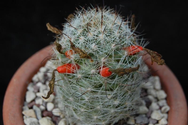 Mammillaria boolii 790-2010