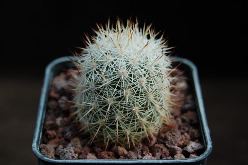 Mammillaria albicans Albica12