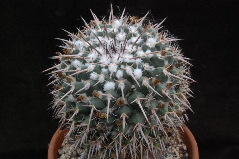 Mammillaria bernalensis Bernal11