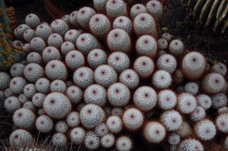 Mammillaria bombycina Bombyc10