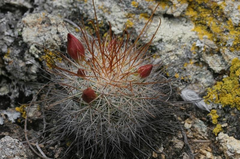 Mammillaria albrechtiana Img_8310