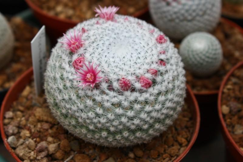 Mammillaria pseudoperbella Pseudo12