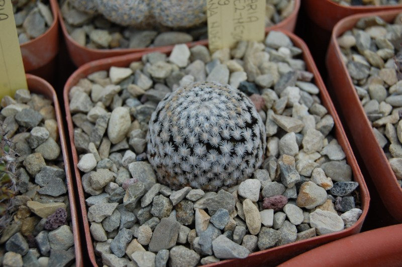 Mammillaria sanchez-mejoradae Sanche11