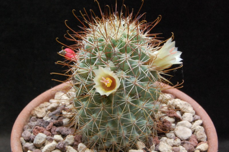 Mammillaria armillata        Sb125611