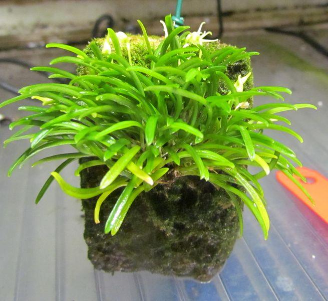 Diodonopsis pygmaea ( ex. Masdevallia pygmaea ) Img_2716