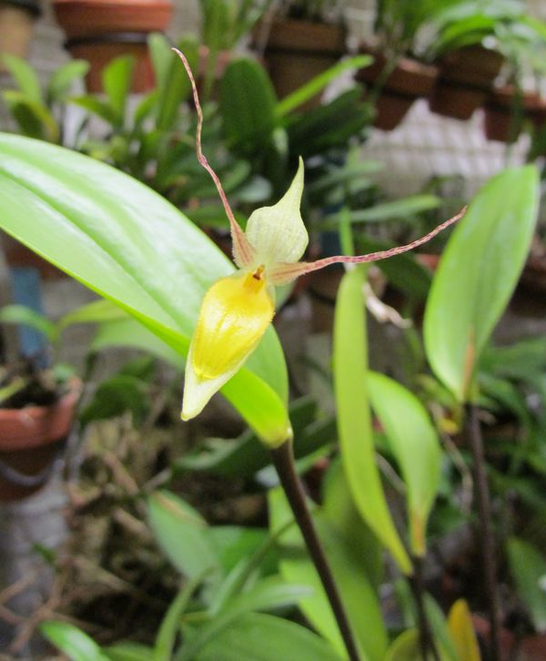 Lindleyalis hemirhoda ( ex. Pleurothallis hemirhoda Img_2722