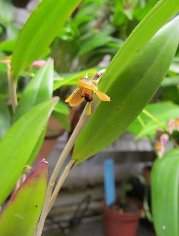 Myoxanthus punctatus Img_2723