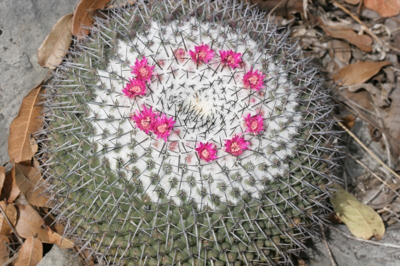 Mammillaria orcuttii Img_9013