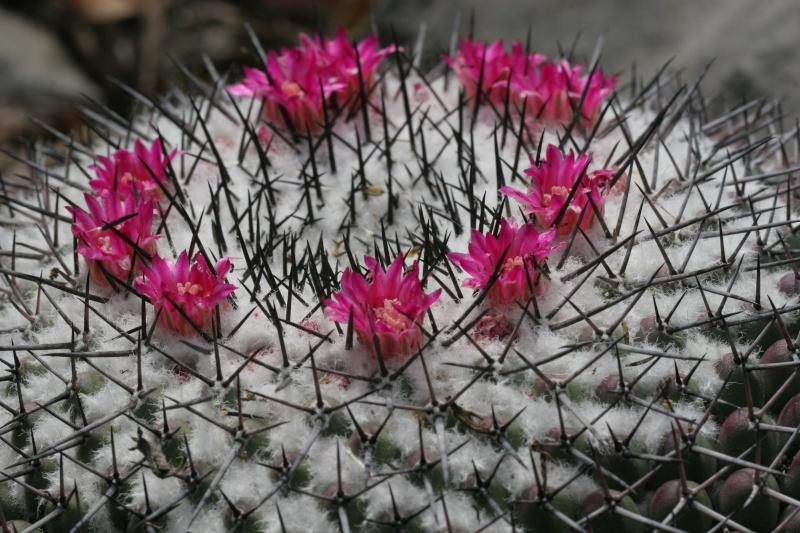 Mammillaria orcuttii Img_9014