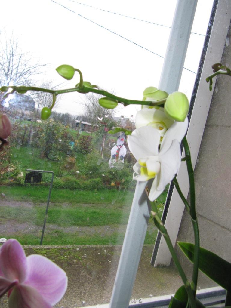 floraisons du moment ( Orchidées )  00316