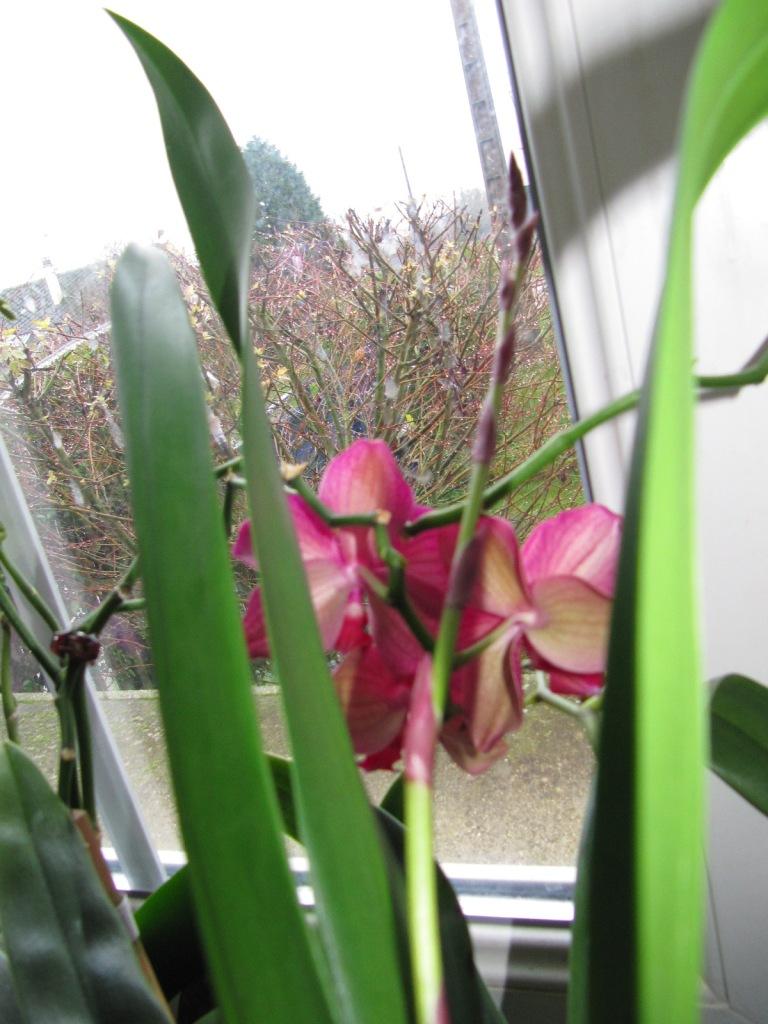 floraisons du moment ( Orchidées )  00515