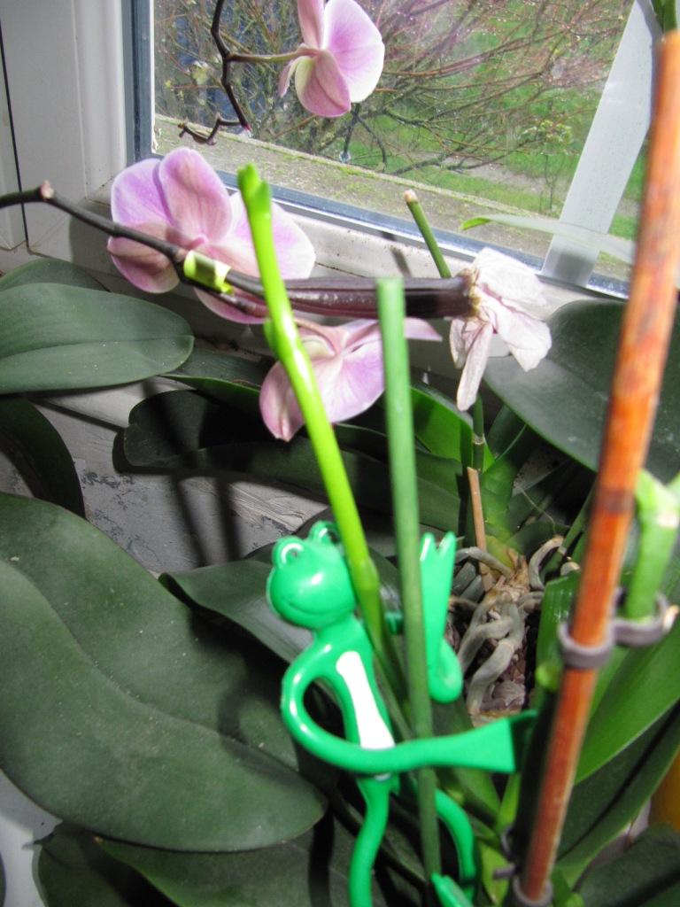 floraisons du moment ( Orchidées )  00614