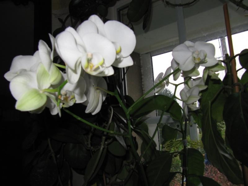 floraisons du moment ( Orchidées )  01213