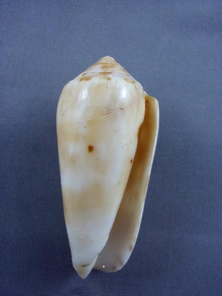 Conus (Pionoconus) floccatus   GB Sowerby I, 1841 - Page 5 Xyno_l11