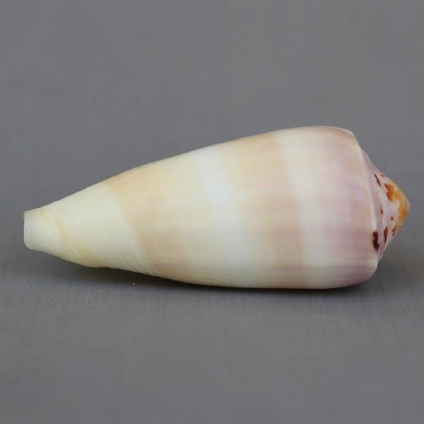 Conus (Pionoconus) circumcisus brazieri (Sowerby III, 1881) 7289-210