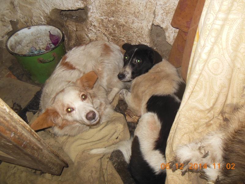 GAYA- femelle noir et blanc née en 2013- parrainée par Skara - SC-SOS-R- 00512