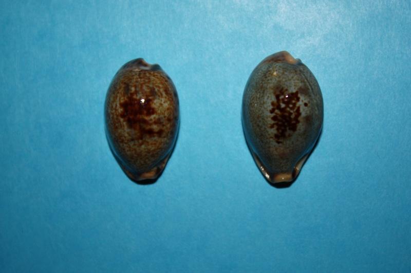 Erronea pallida - (J.E. Gray, 1824) Img_3910