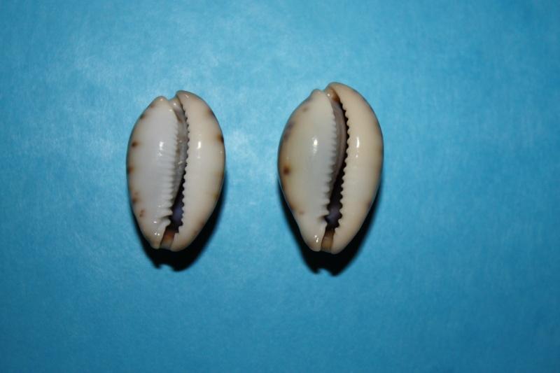 Erronea pallida - (J.E. Gray, 1824) Img_3911