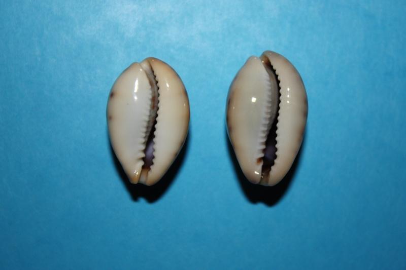Erronea pallida - (J.E. Gray, 1824) Img_3915