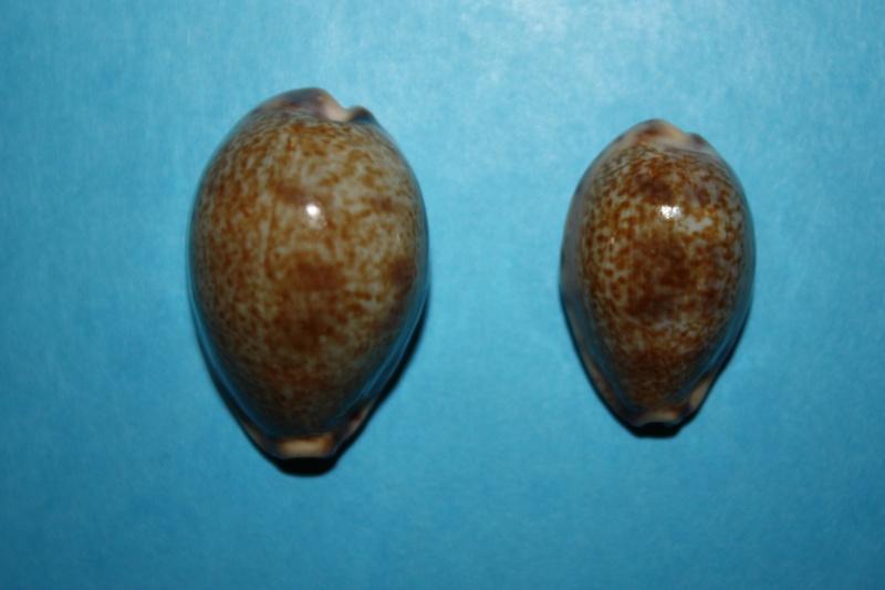 Erronea pallida - (J.E. Gray, 1824) Img_3916