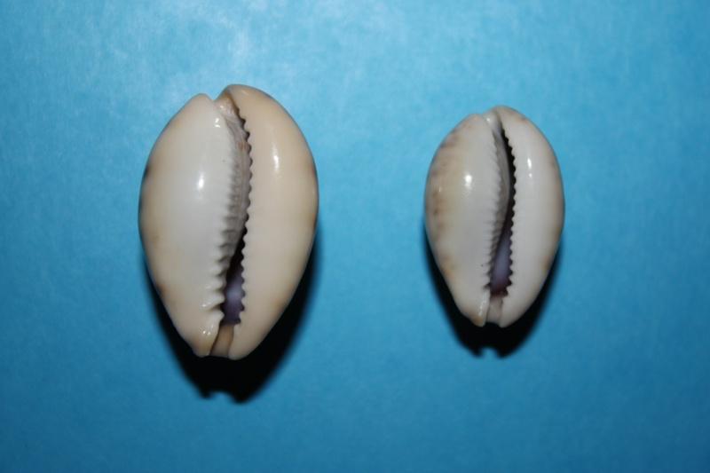 Erronea pallida - (J.E. Gray, 1824) Img_3917