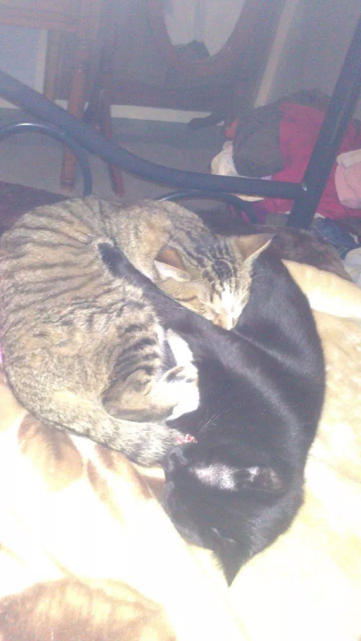 Hadès, chaton tigré et blanc né le 11/05/2012  par NADINE (36) Image10