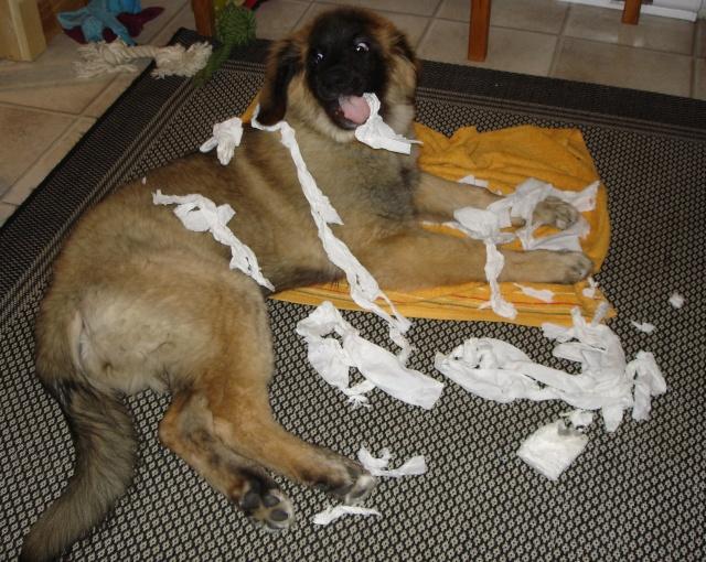 Photos de vous et vos chiens en pleine activité (course, vtt,ring, ..) Jigel117