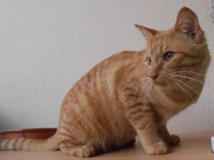 Trouvé chat roux quartier Bascule à Colomiers Dscn1710