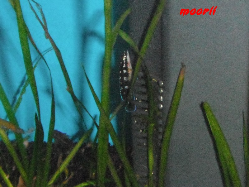 Julidochromis transcriptus Bemba - Page 2 110