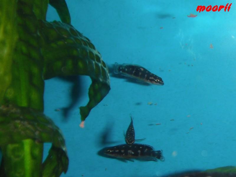 Julidochromis transcriptus Bemba - Page 2 210