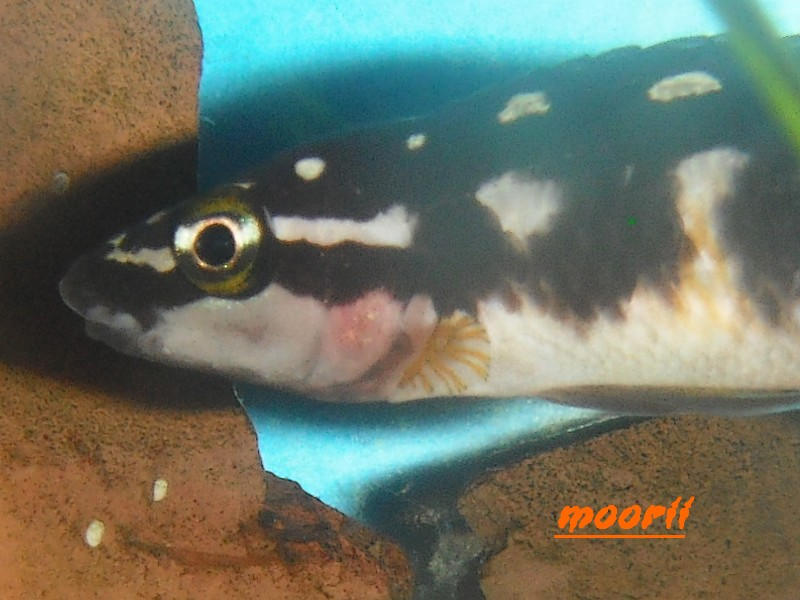 Julidochromis transcriptus Bemba - Page 2 410