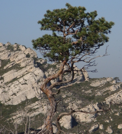 Pinus sylvestris - pin sylvestre Chayne10