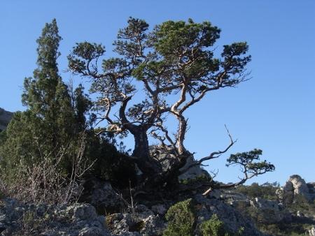 Pinus sylvestris - pin sylvestre Chayne12