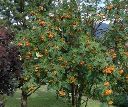 Sorbus aucuparia - sorbier des oiseleurs - cultivars et hybrides Copy_o11