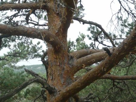 Pinus sylvestris - pin sylvestre Cyvenn11