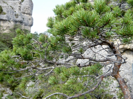 Pinus sylvestris - pin sylvestre Cyvenn12