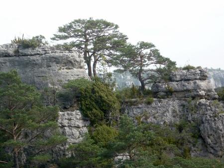 Pinus sylvestris - pin sylvestre Cyvenn13