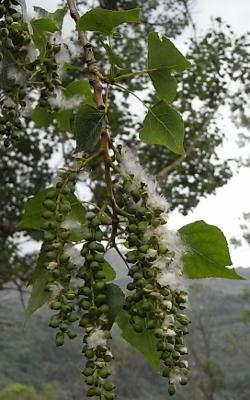 Populus tremula - tremble, peuplier tremble  Flore_11