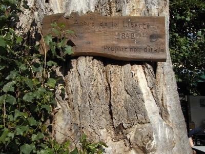 Populus nigra - peuplier noir - variétés, cultivars Juille10