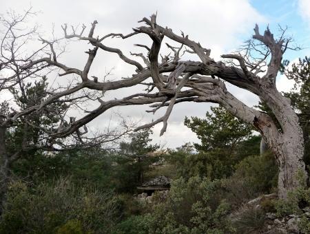 Pinus sylvestris - pin sylvestre P1020410