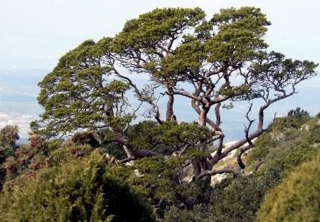 Pinus sylvestris - pin sylvestre P1070210