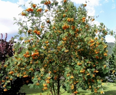 Sorbus aucuparia - sorbier des oiseleurs - cultivars et hybrides Rimg6314