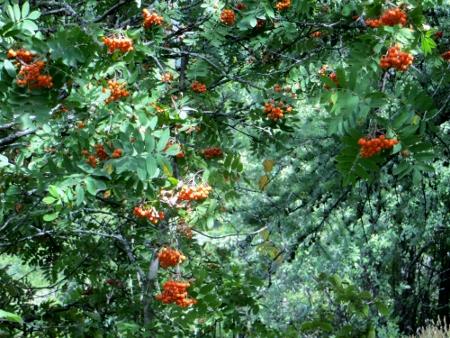 Sorbus aucuparia - sorbier des oiseleurs - cultivars et hybrides Septem12